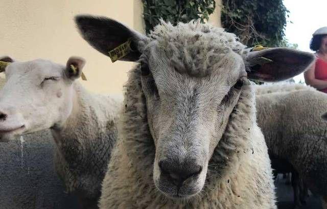 Un mouton. (Illustration)