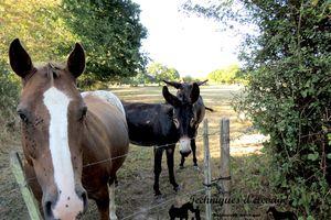 Lyme ou Borréliose chez les chevaux et les ânes