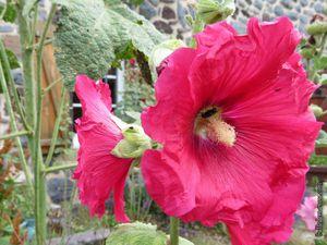 Les roses trémières rouges