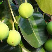 L'huile de calophylle, l'huile qui prend soin de vous