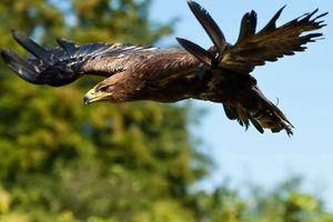 Un aigle royal est né dans le Jura, 170 ans après la dernière nichée en Bourgogne-Franche-Comté