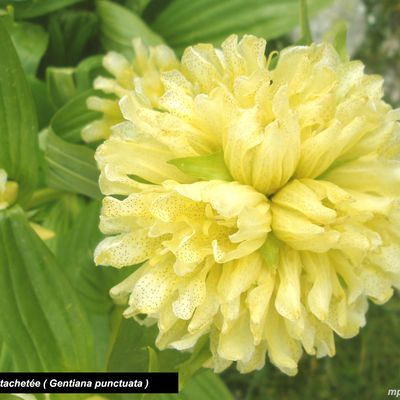 GENTIANE PONCTUEE ( Gentiana punctata ) - GENTIANE jaune TACHETE