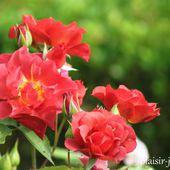 Le rosier 'Cinco de Mayo' - plaisir-jardin.com
