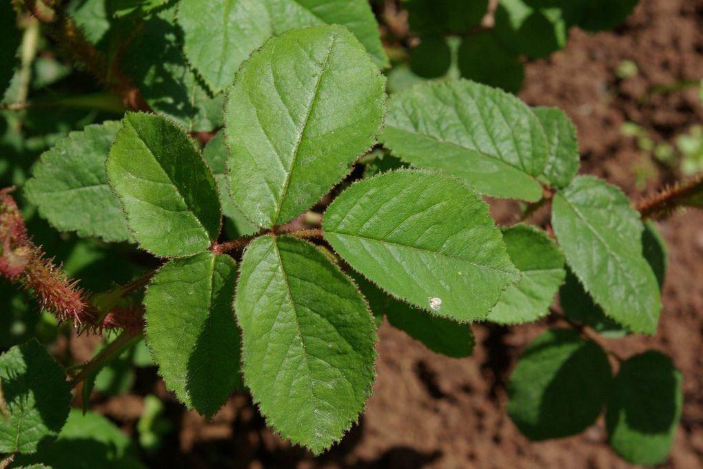 photo roses.shoutwiki.com