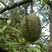 Les fruits de Si Saket - Fruits de saison (18-15) - Noy et Gilbert en Thaïlande