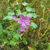 Mauve : la douceur faite fleur - www.lesjardinsdalice.ch