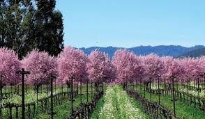 Vineyards in Lake County - California