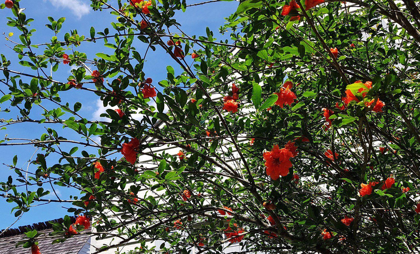 Vermilionville arbuste fleurs rouges