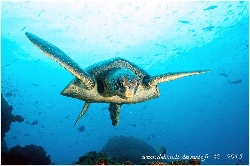 La tortue verte est sans doute la plus connue des tortues marines. Cette tortue doit son nom de « verte » non pas à la couleur de ses écailles mais à la teinte verdâtre de sa graisse.