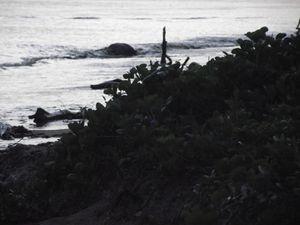 Saga Guyanaise 2014....      Les tortues Luth
