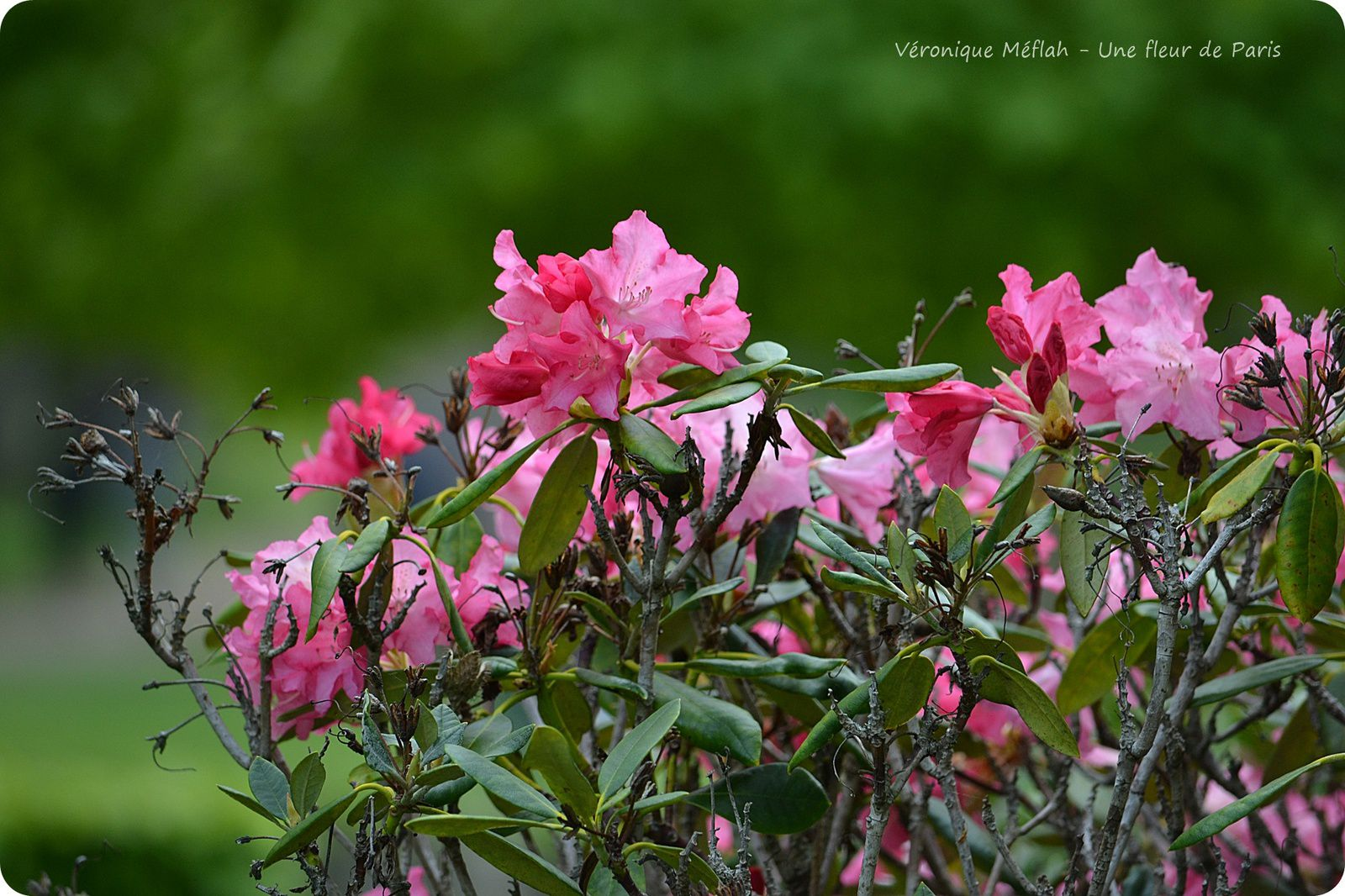 Dans le langage des fleurs, le rhododendron symbolise l'élégance et l'azalée la joie d'aimer.