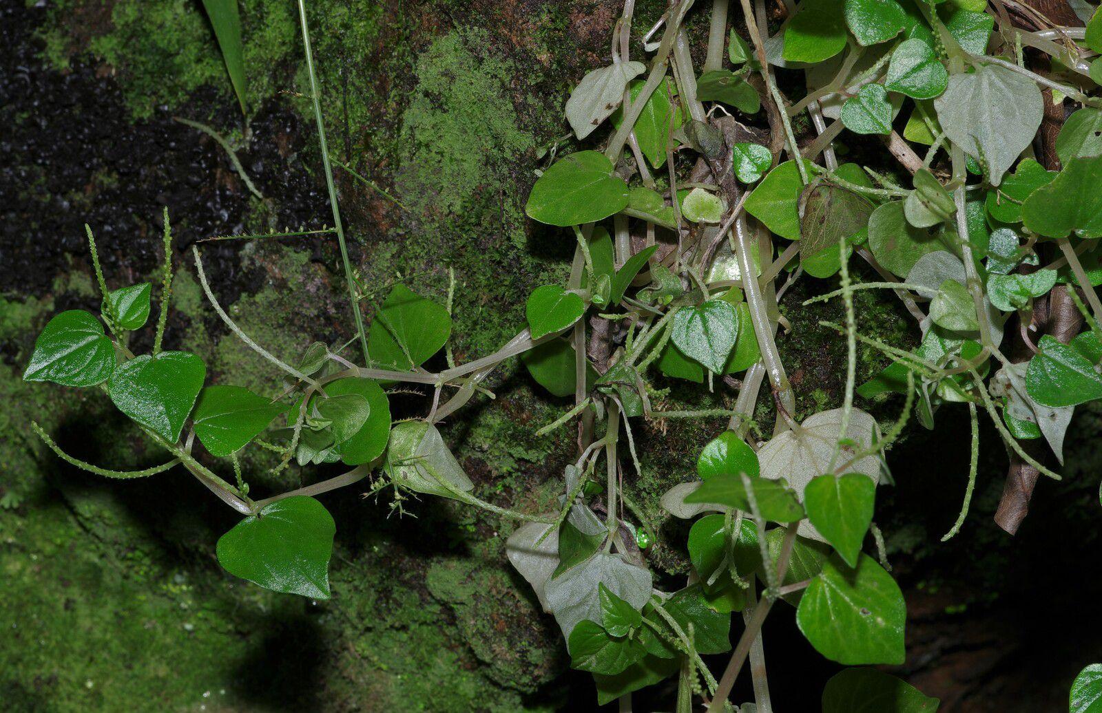 Peperomia pellucida (salade soldat, salad soda)