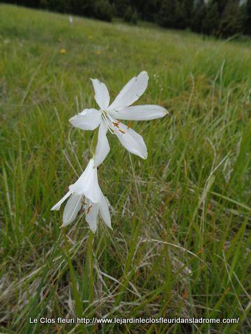 Lis de saint Bruno :  Paradisea liliastrum  (L.) Bertol.   Asparagaceae