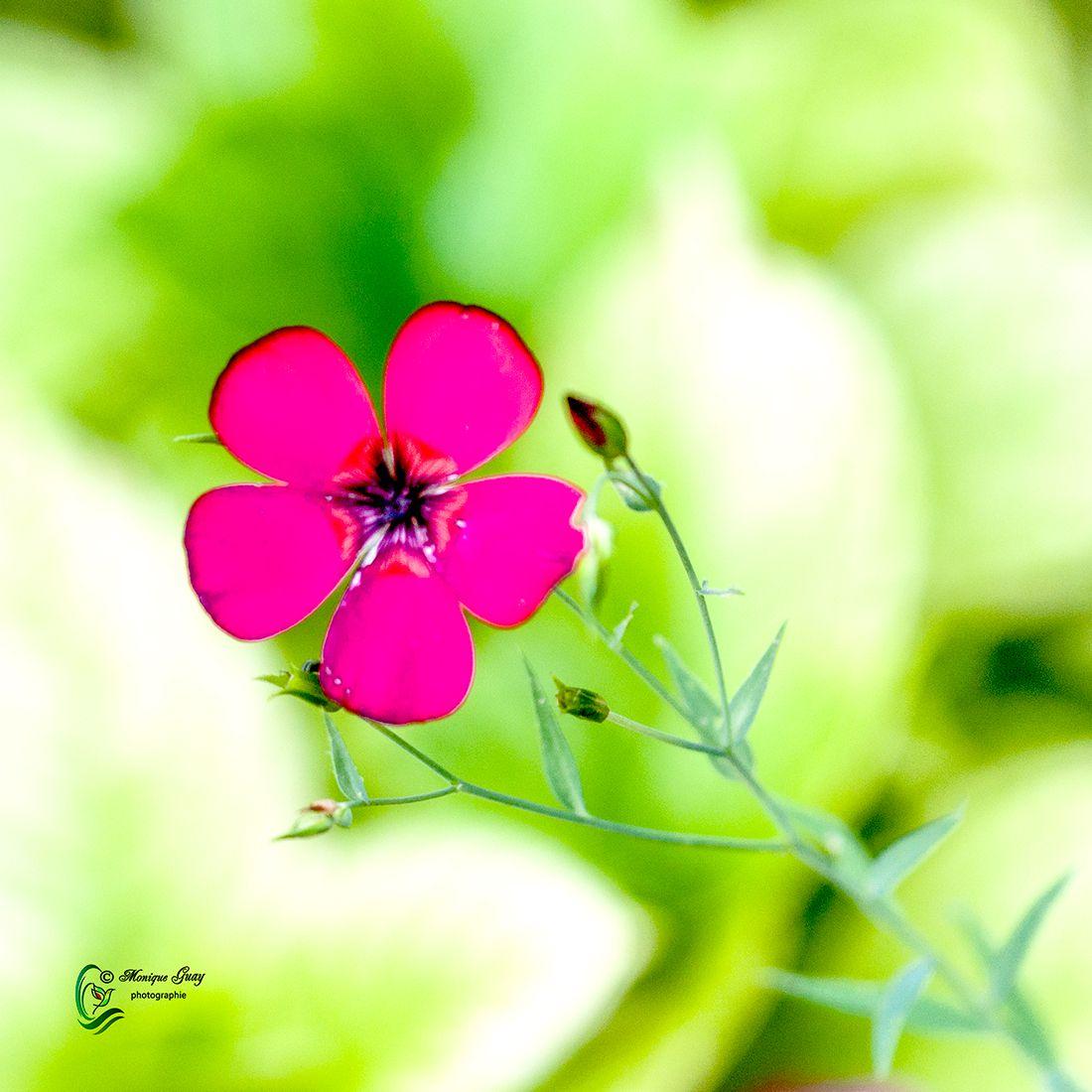 Fleur rose vif