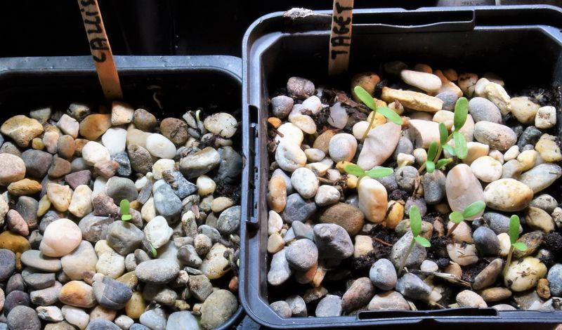 """Les tagètes """"burning amber"""" de Marie Noëlle et les Callistephus """"lavender"""" de Pascale ont germé après quelques jours : j'aurais pu les semer un bon mois plus tard."""