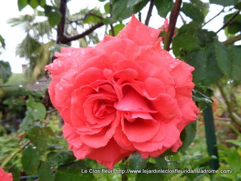 Mon rosier Dee Dee Bridgewater
