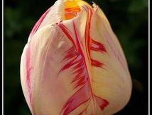 Tulipe ...