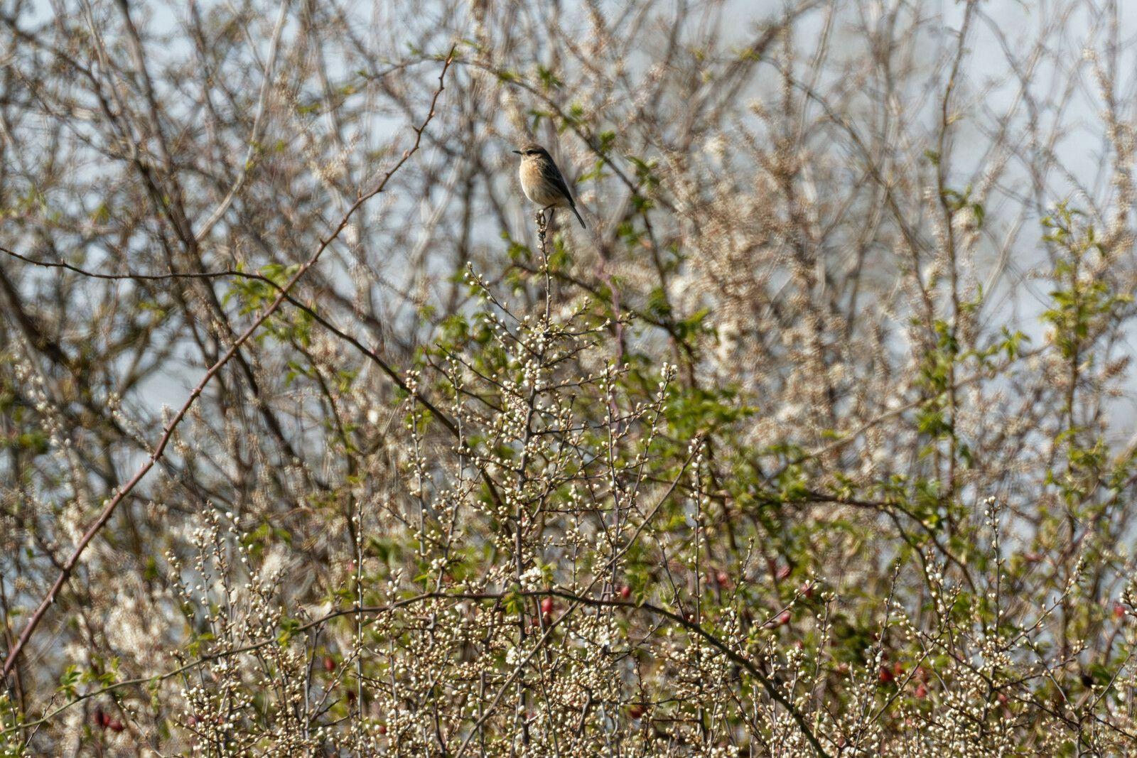 Tarier pâtre sur son point dominant puis dans son terrain de chasse.
