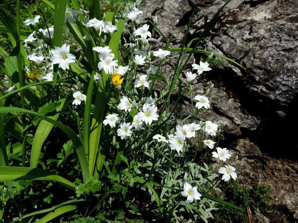 Fleurs : Géranium pourpre et Céraiste tomenteux ( Céraiste corbeille d'argent)