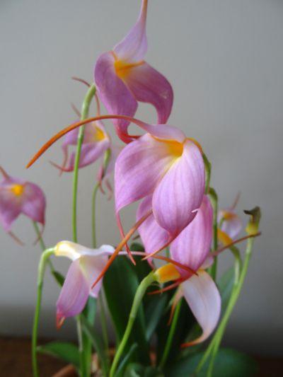 Masdevallia hybride