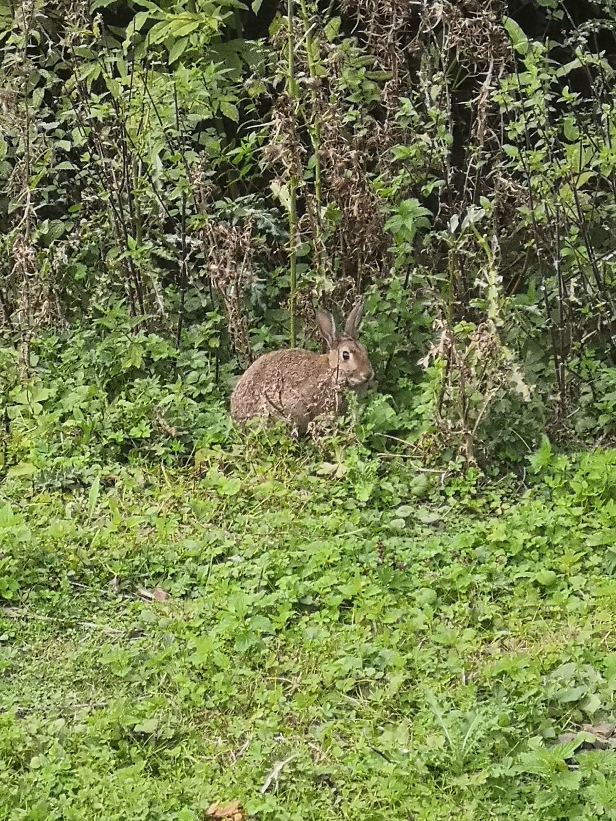 LAPIN SAUVAGE DE TRAPPES
