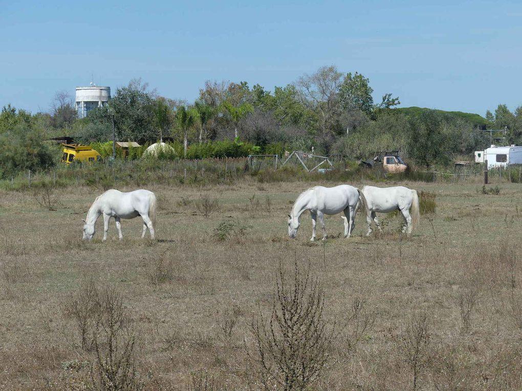 Et les chevaux camarguais