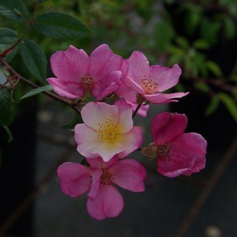photo Pétales de roses