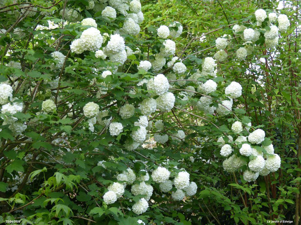 Les  inflorescences sphériques sont d'abord d'un beau vert  puis d'un blanc crème  avant de rosir légèrement.