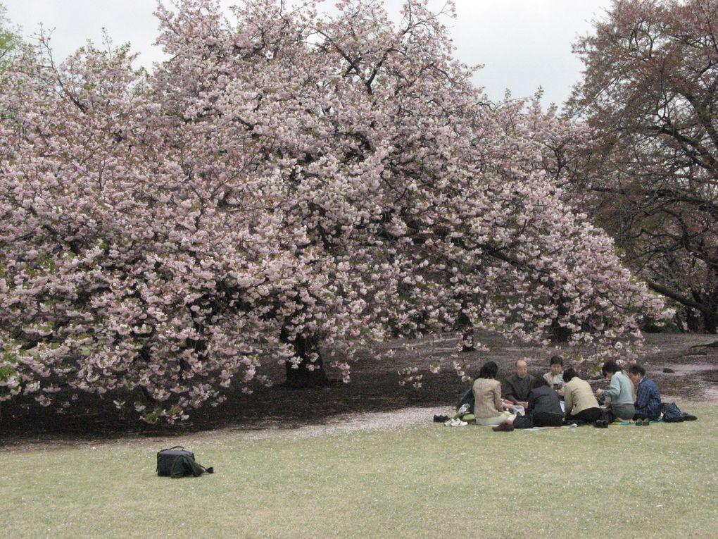 Prendre le thé ... à l'ombre des arbres et contempler le paysage à la saison des cerisiers en fleurs