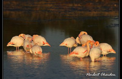 Belle lumiere sur les flamants...