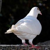un boulant, une colombe pour Noël - Autour de