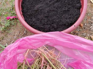 Plant Tropical amaranth (Siru keerai) stems with roots in a pot