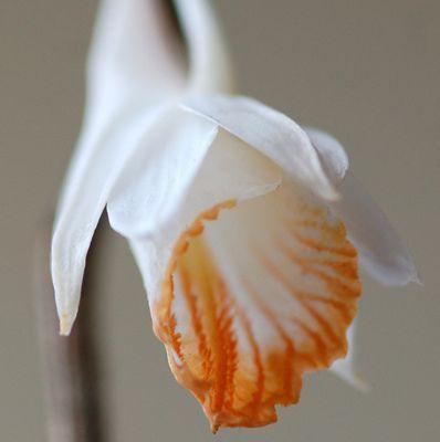 Dendrobium chapaense