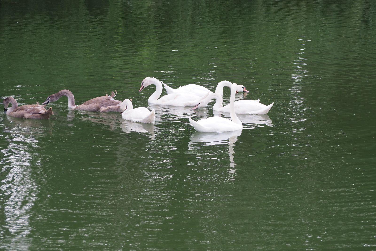 Une famille de cygnes sur le canal de Chalifert