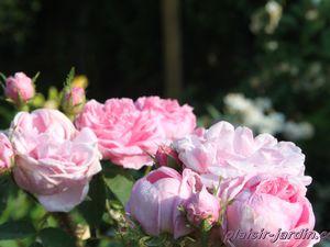 Les rosiers en S. de Sa. à Sh.