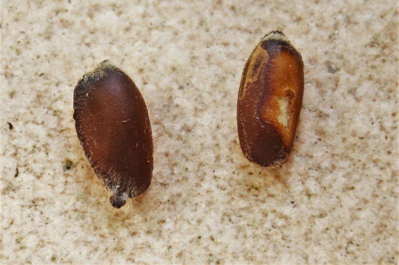 La graine de droite est scarifiée : on aperçoit l'intérieur blanc ... qu'il faut bien veiller à ne pas endommager.