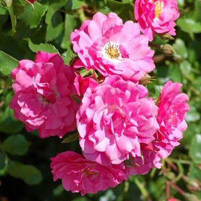 Festival des Roses de Kalaât M'Gouna
