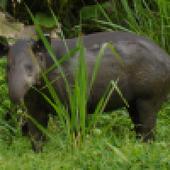lire avec les animots rigolos: son [p]...le tapir (1)