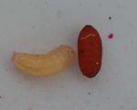 15 - PAPILIO MACHAON - Maladies - parasites
