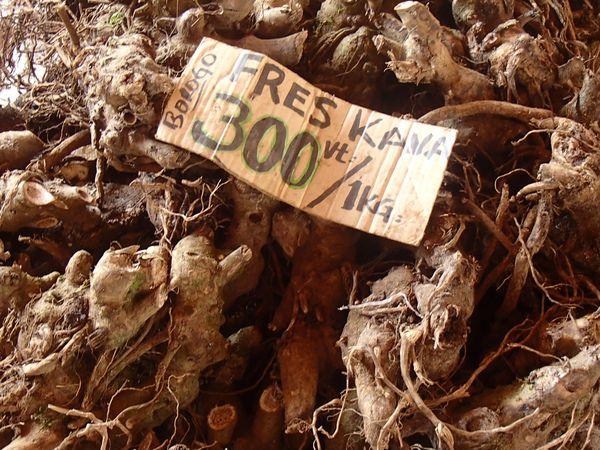 Racines de poivrier, à partir desquelles est fabriqué le Kava