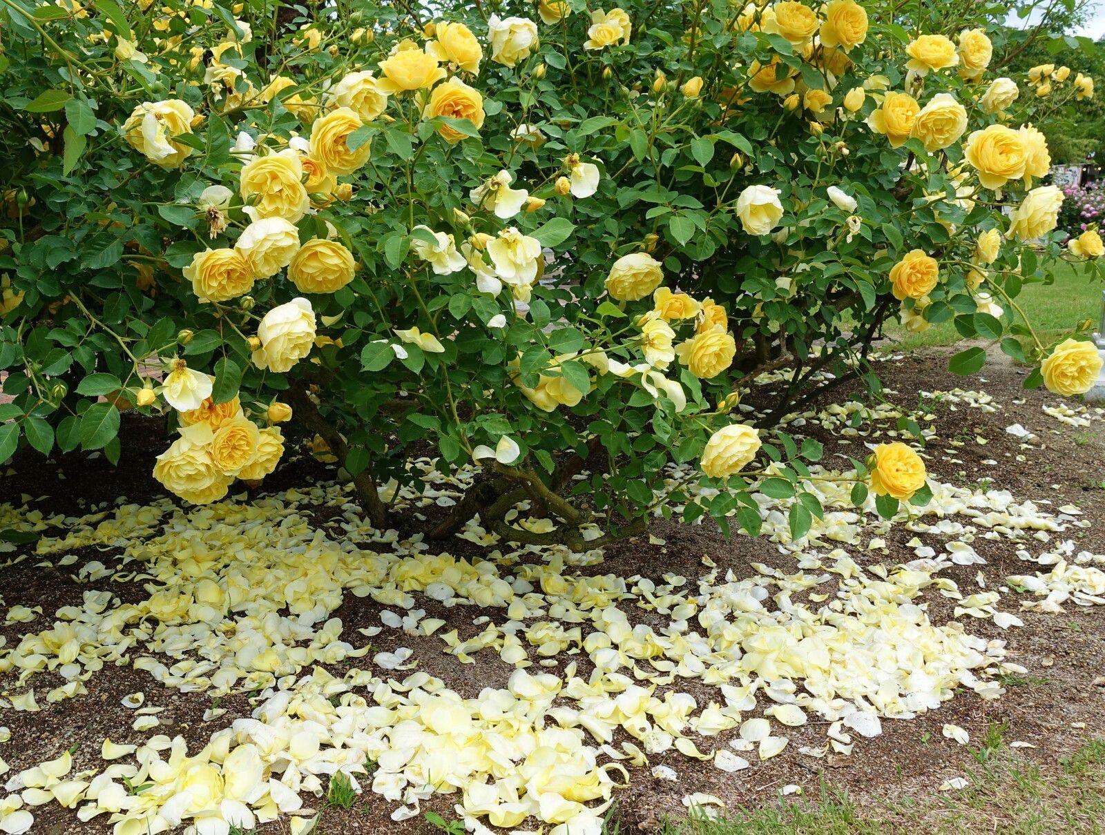 Roses et ciel ombrageux - Hana Festa 2021