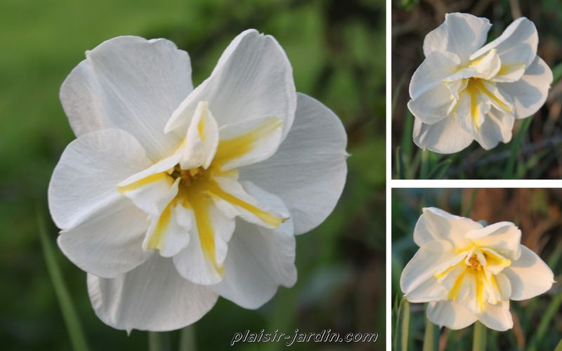 Le narcisse Lemon Beauty