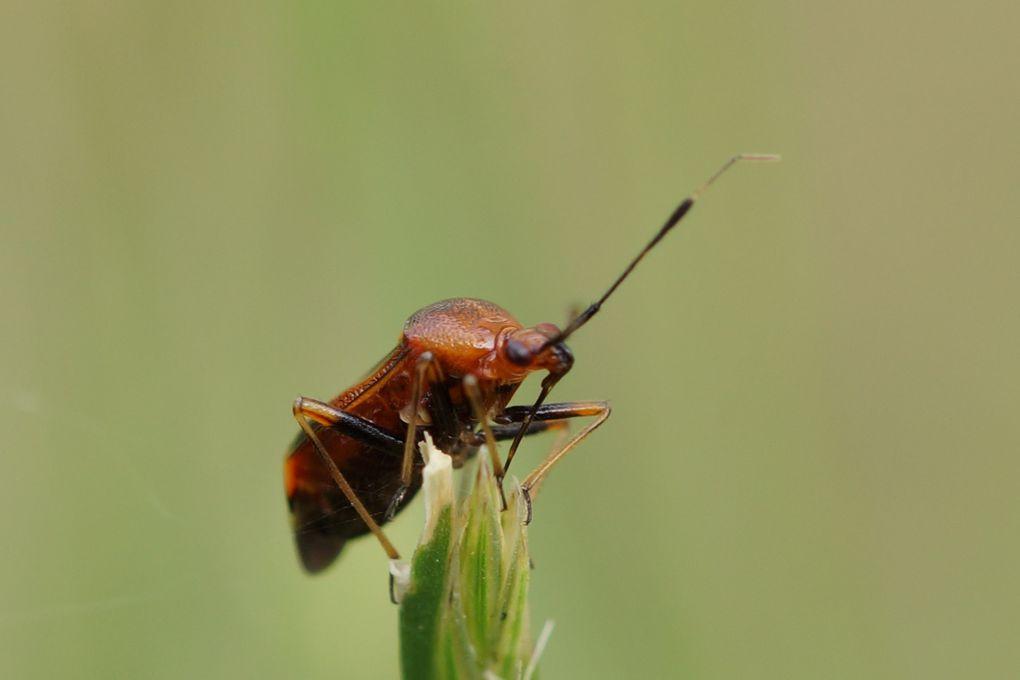 Punaise à taches rouges ou miride rouge (Deraeocoris ruber)