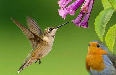 Le rouge-gorge qui se prenait pour un colibri