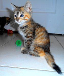 Juliette, chaton femelle isabelle, à l'adoption -> adoptée