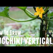 How To Grow Zucchini Vertically - Save Space & Increase Yields in 5 Simple Steps