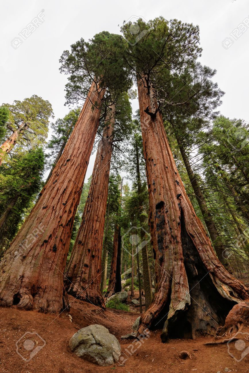 Séquoias ou la ruée vers l'or