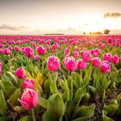 Are Tulips Edible? [The answer may surprise you!] - Garden Tabs