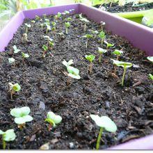 Nouveau semis de radis