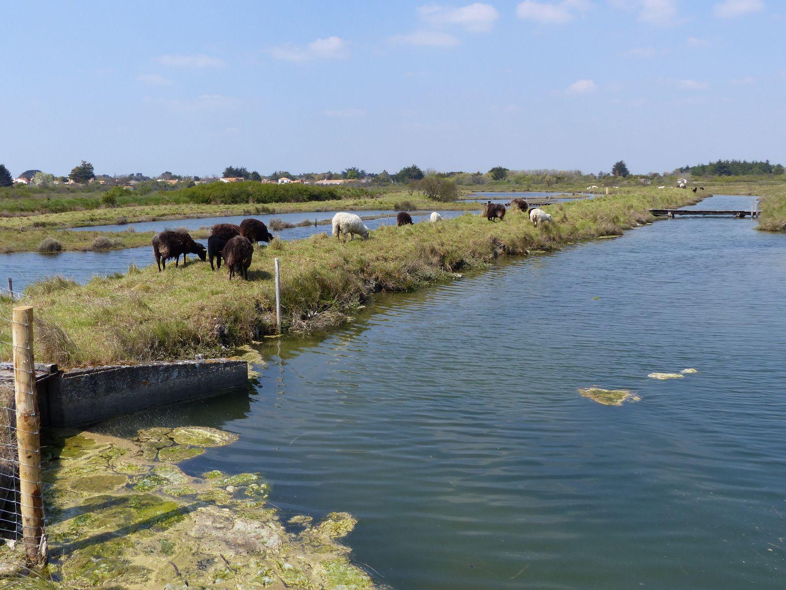 Moutons et agneaux dans les marais d'Olonne